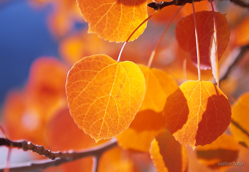 Golden Aspen Leaves by weberfoto