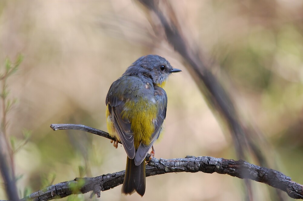 Eastern Yellow Robin by David  Hall