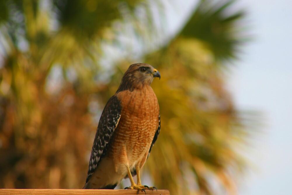 Red Shouldered Hawk by Dennis Blauer