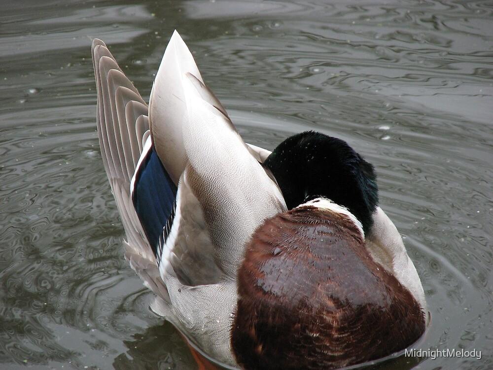 Preening Duck by MidnightMelody