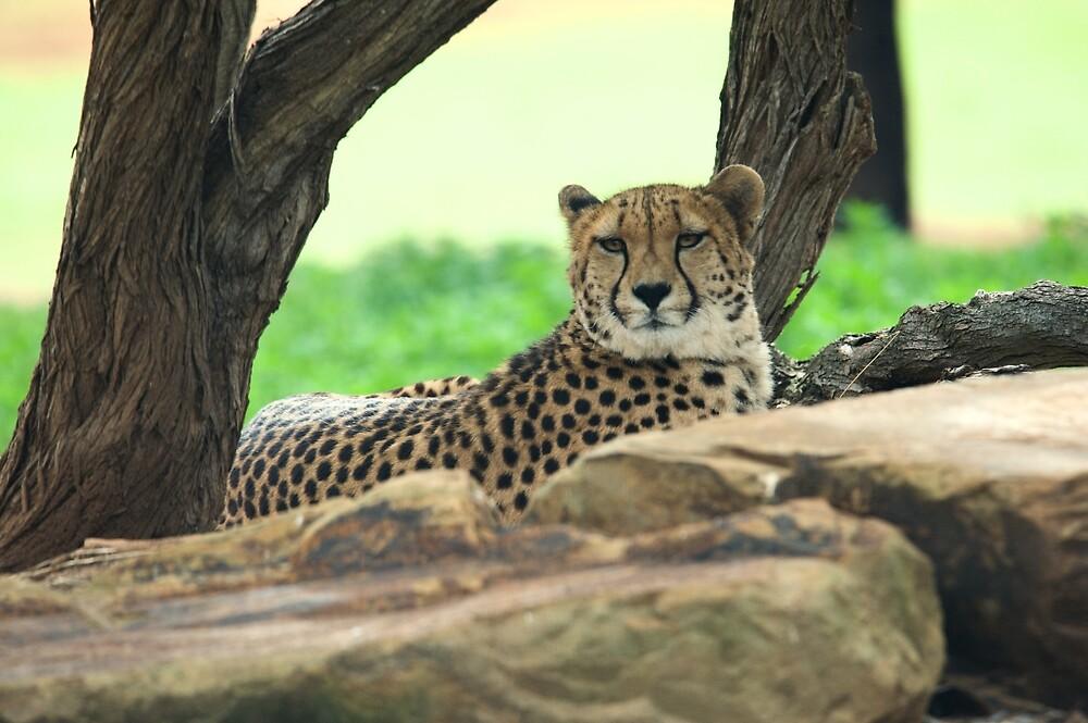 Cheetah On The Rocks by GP1746