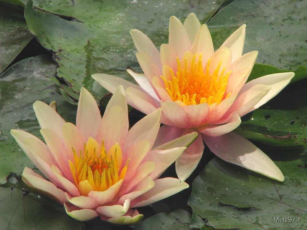 Water lillies at Adelaide Zoo. by Mel1973