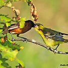Oriole Feeding Baby by Eva Saether