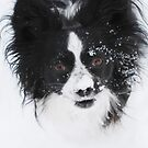 Abominable Snow Papillon by blindwolfspirit
