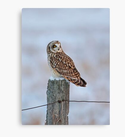 Short-eared owl in winter Canvas Print