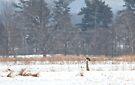 Short-Eared owl on post in winter by Jim Cumming