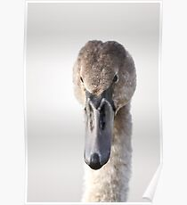 Portrait of a young swan Poster