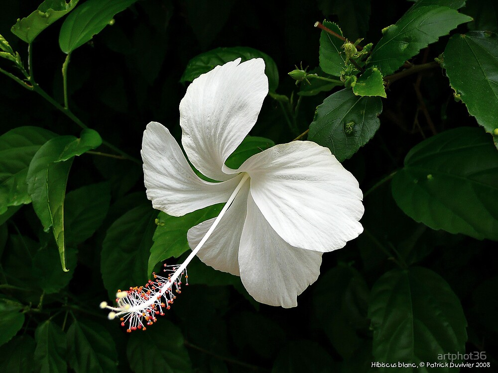 white hibiscus by artphot36