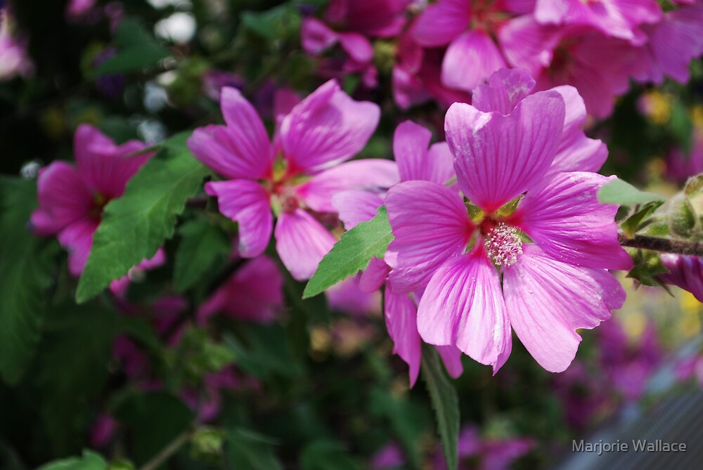 Pink flowers in Monterey by Marjorie Wallace