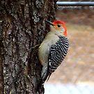 Red-Bellied Woodpecker by Glenna Walker