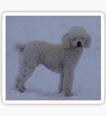 poodle white full in snow Sticker