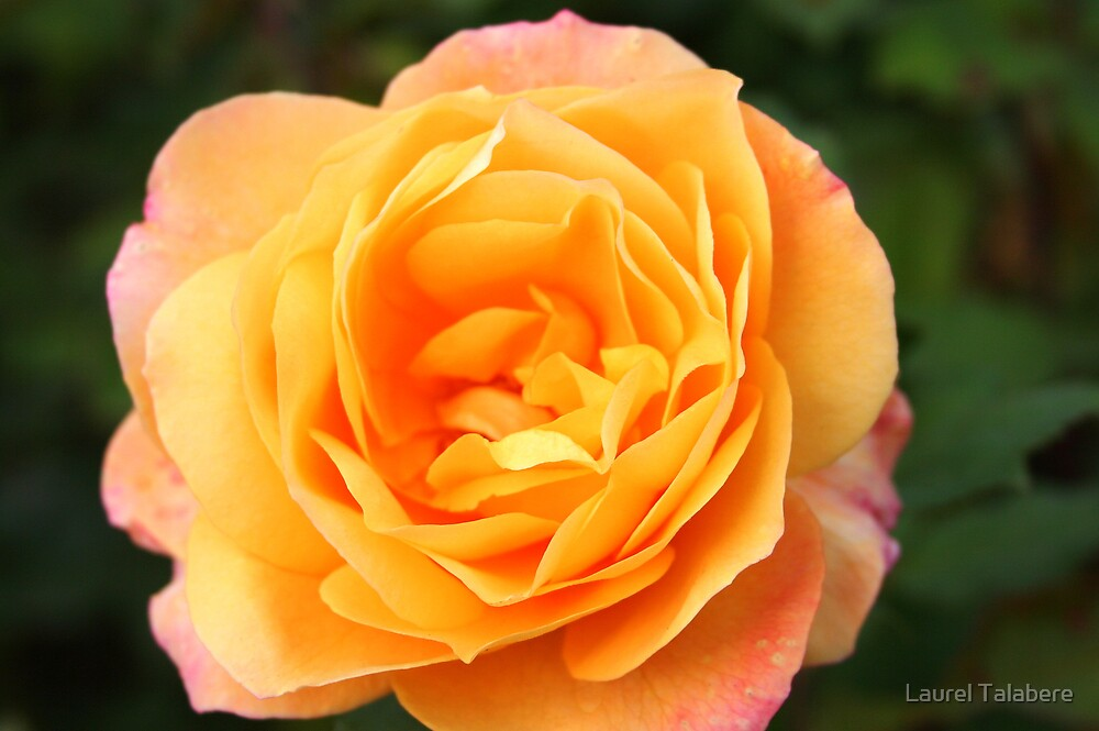 Yellow-pink Rose by Laurel Talabere