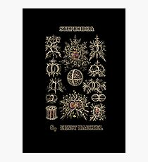 """Stephoidea"" from ""Art Forms of Nature"" by Ernst Haeckel Photographic Print"