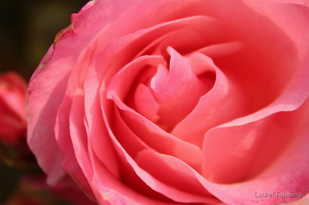 Pink Rose Unfurled by Laurel Talabere