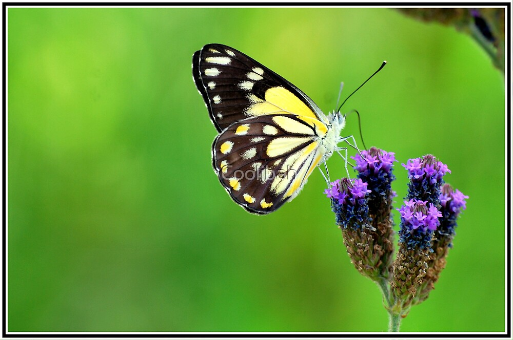Butterfly on Statice by Ruth Anne  Stevens