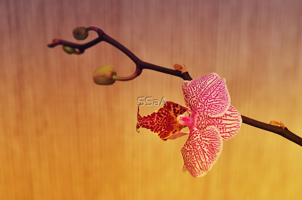 Orchids by SSaA