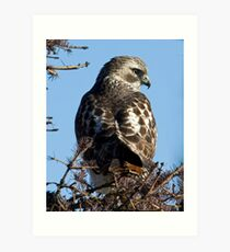 Red Tailed Hawk with a view Art Print