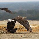 Juvenile Bald Eagle by Howard S Taylor