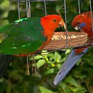 King Parrot visitor by johnrf