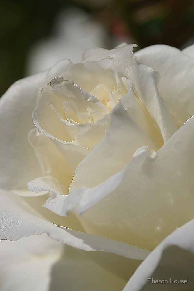 White Rose Of Athens by Sharon House
