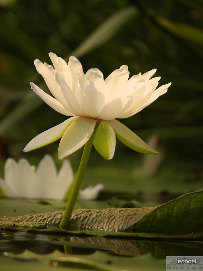 white lily by leonoel