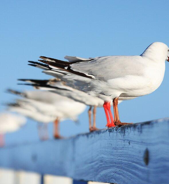 Silver Gull (Larus novaehollandiae) by Andrew Widdowson