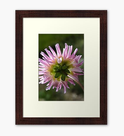Back To Dahlia Framed Print