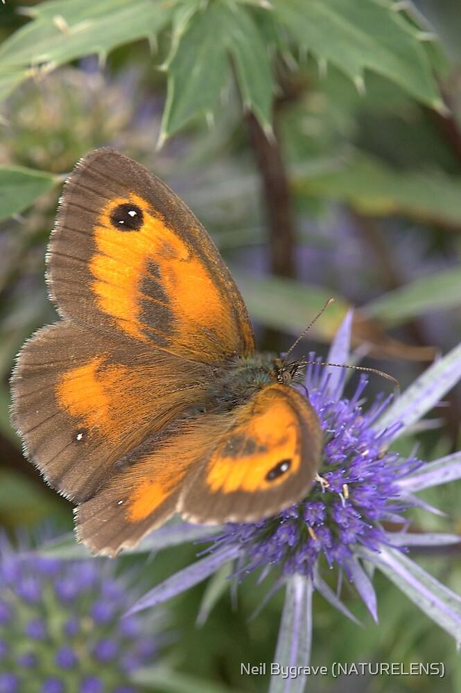 Gatekeeper Butterfly by Neil Bygrave (NATURELENS)