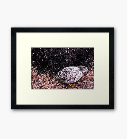 Button Quail Framed Print