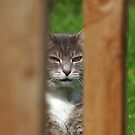 Tabby cat looking through wooden fence by turniptowers