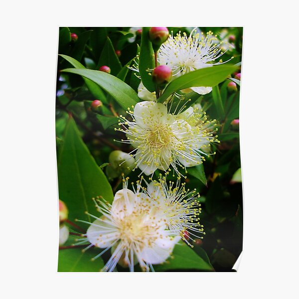 Myrtus communis (Myrtle) Poster