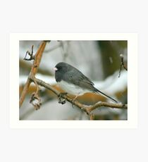 Slate colored Junco Art Print