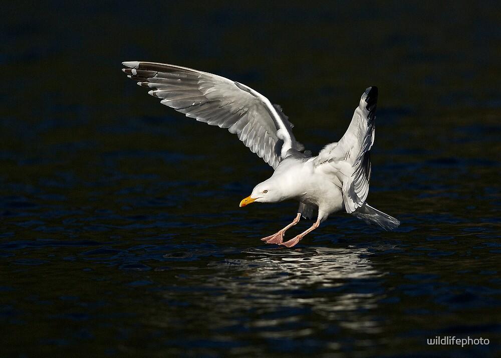 Herring Gull by wildlifephoto