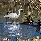 Snowy Egret and Merganzer Ducks by TJ Baccari Photography