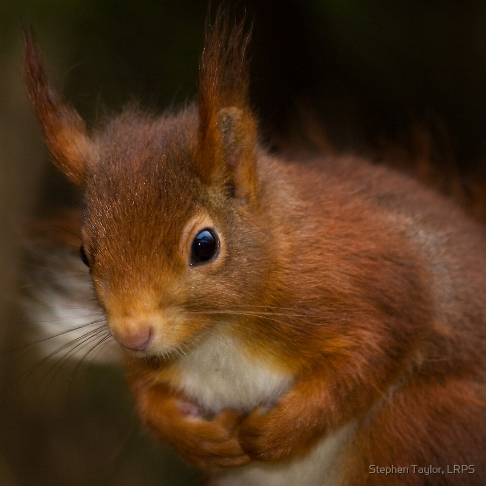 Red Squirrel by Stephen Taylor, LRPS