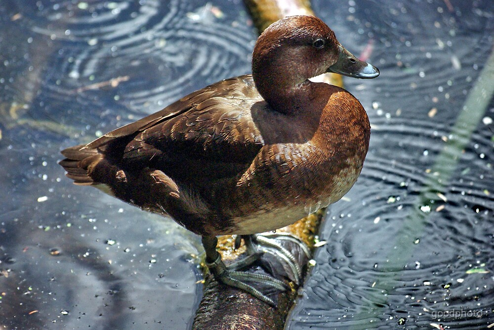 sitting duck by goodphoto