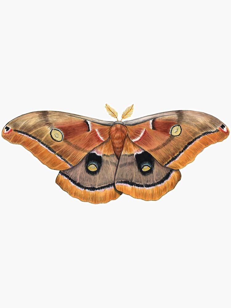 Polyphemus Moth (Antheraea polyphemus) II by JadaFitch