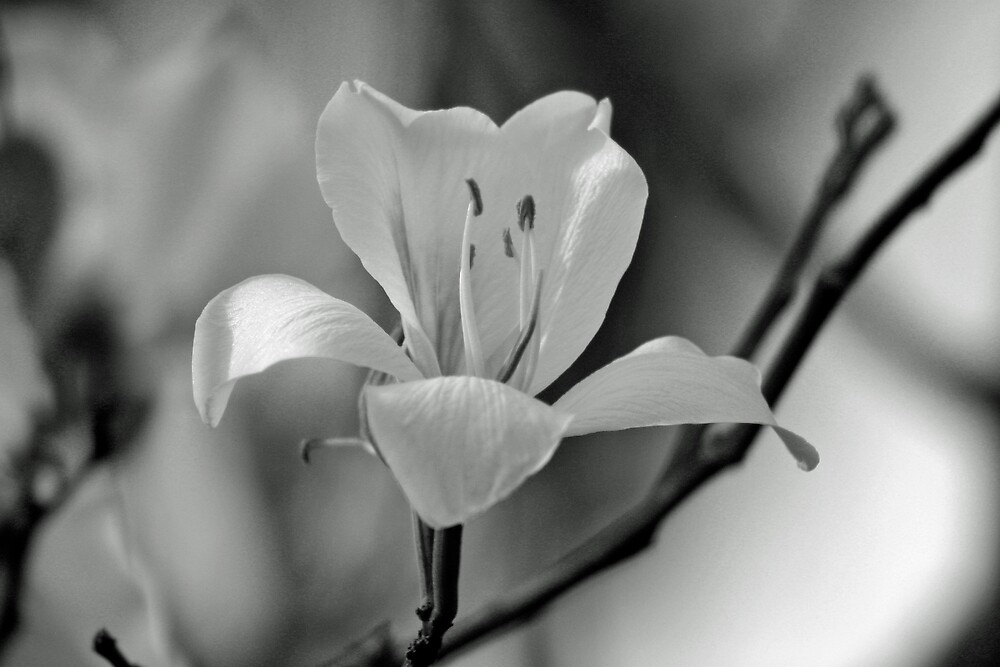 b&w blooming tree by Sol Whiteley