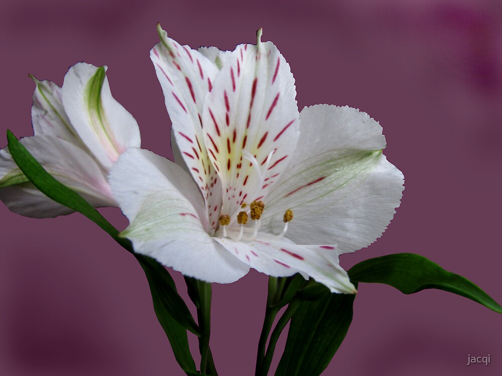 Alstroemeria - the Peruvian Lily by jacqi