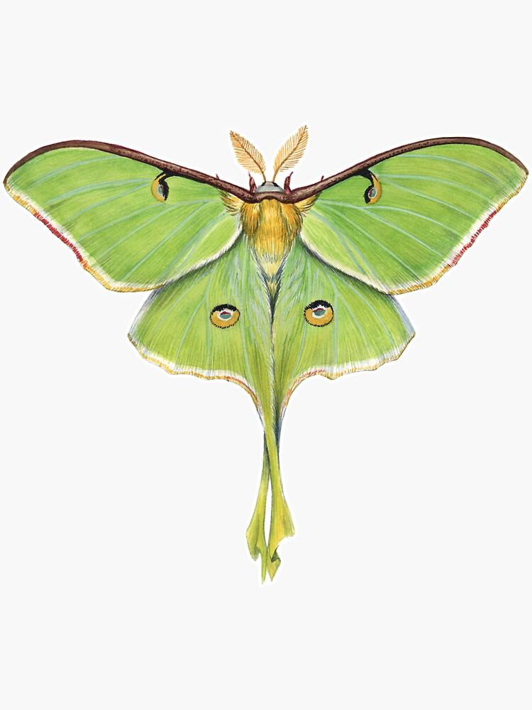 Luna Moth (Actias luna) II by JadaFitch