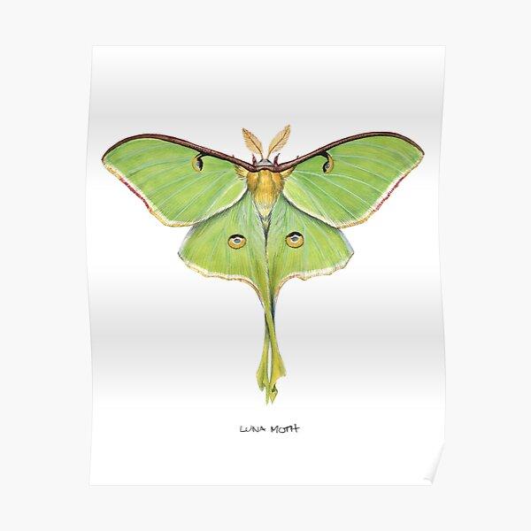Luna Moth (Actias luna) II Poster