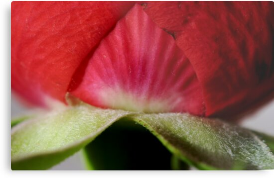 Rose by frankrefischer