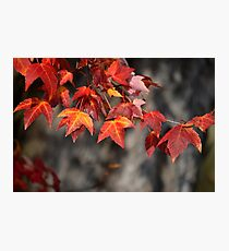 Stunning Red Foliage  Photographic Print