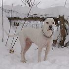 Snow Dog by tayja