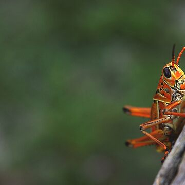 Grasshopper by the-chillness