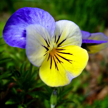 Dancing Pansy by Artlife