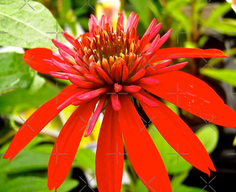 Red Flower by Shulie1