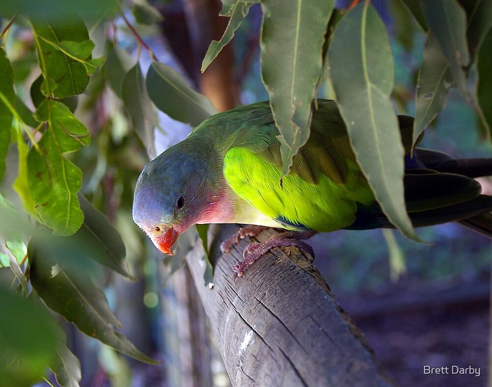 Parrot  by Brett Darby