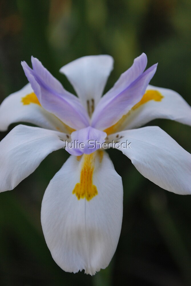 Dietes sp. by Julie Sherlock