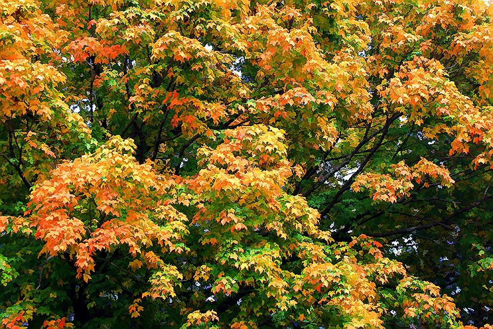 Autumn Maple by Nancy (Peaches) Harker
